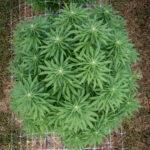 outdoor grown cannabis