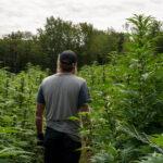 local marijuana